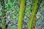Acacia kirkii subsp. kirkii var. kirkii