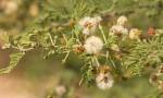Acacia luederitzii var. luederitzii