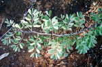Acacia mellifera subsp. detinens