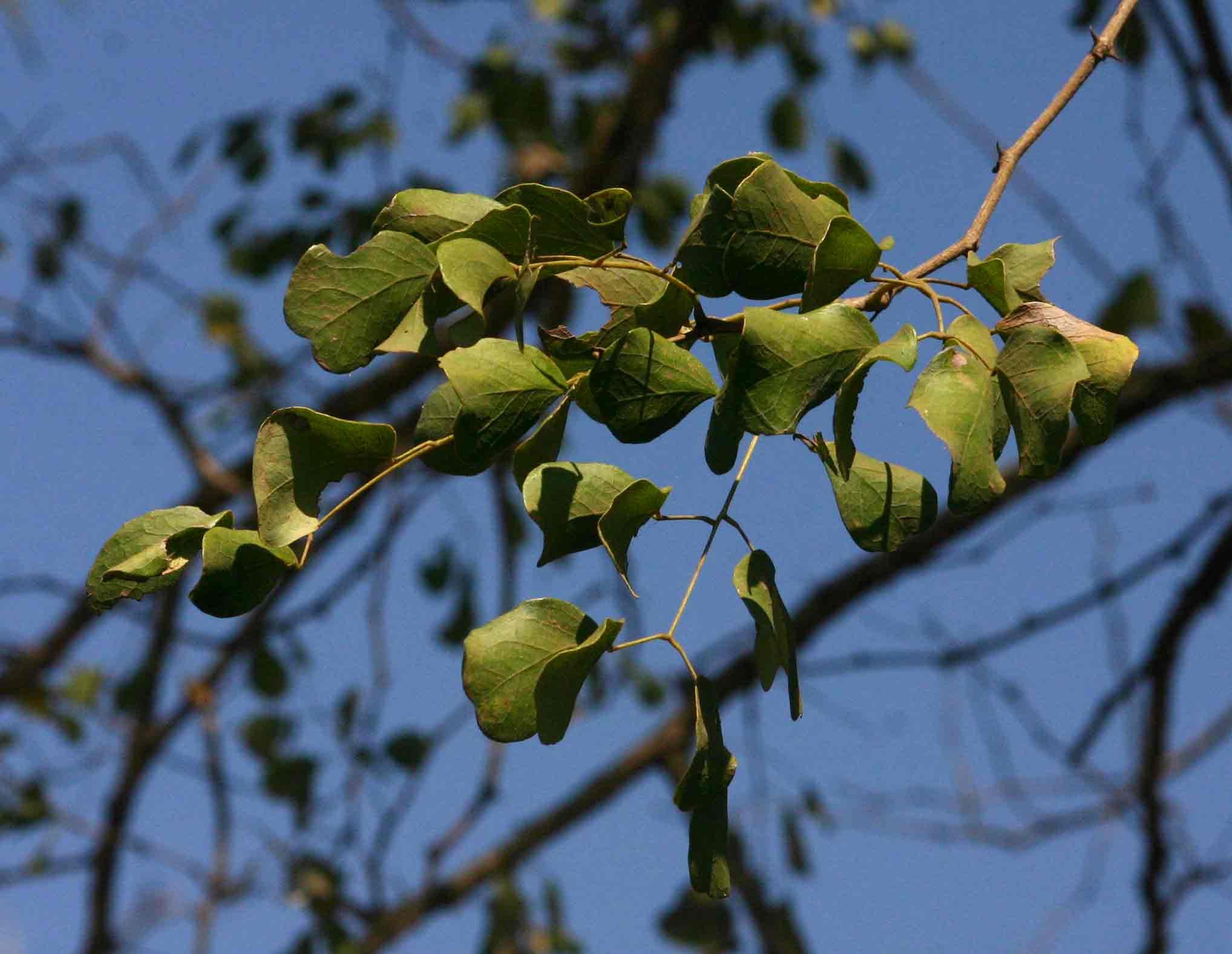 Acacia nigrescens