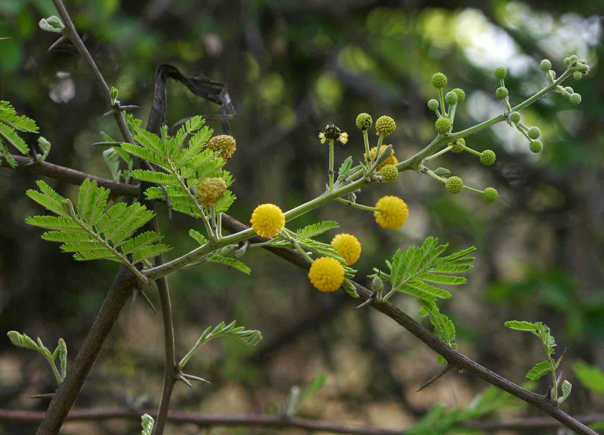 Flora Of Mozambique Species Information Individual Images Acacia