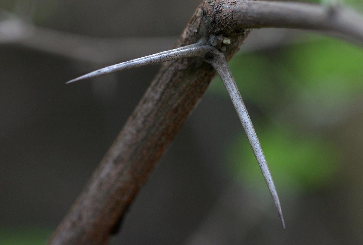 Acacia nilotica subsp. kraussiana