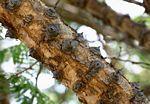 Acacia polyacantha subsp. campylacantha