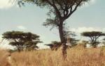 Acacia rehmanniana