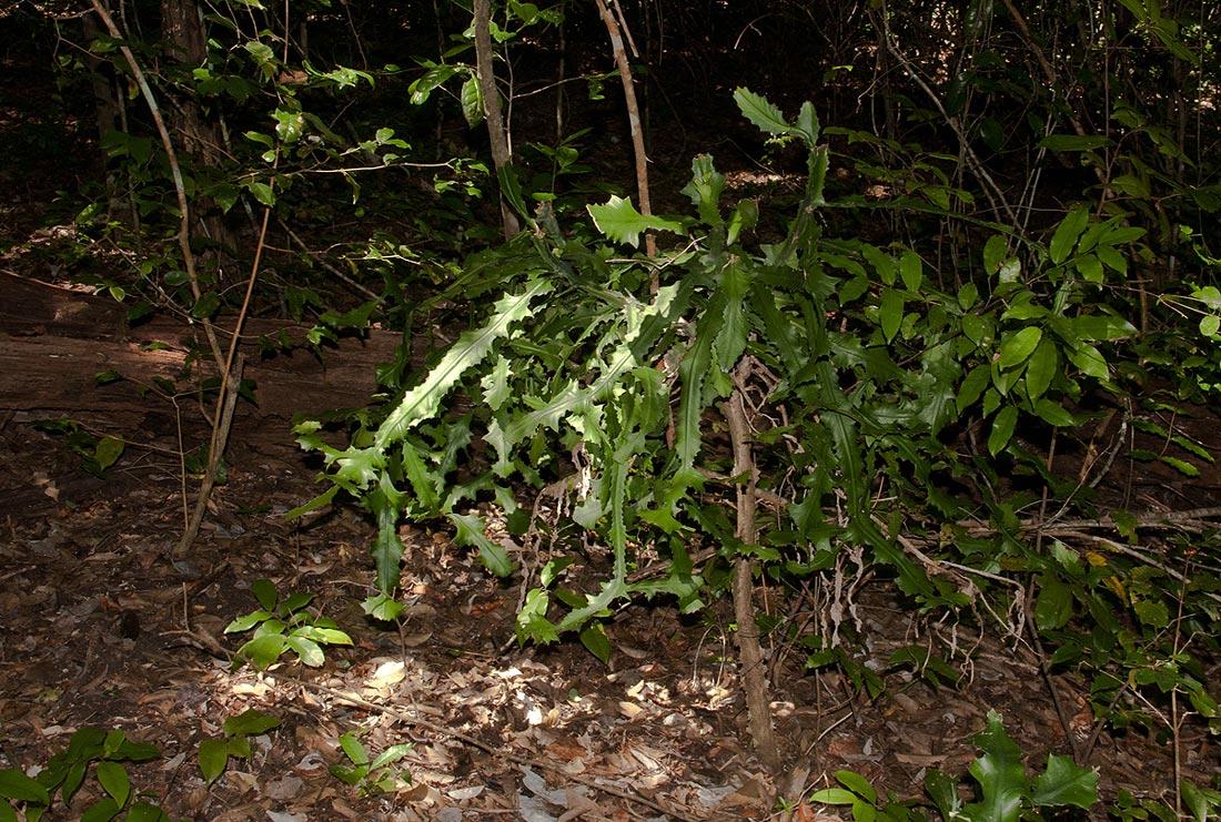 Euphorbia bougheyi