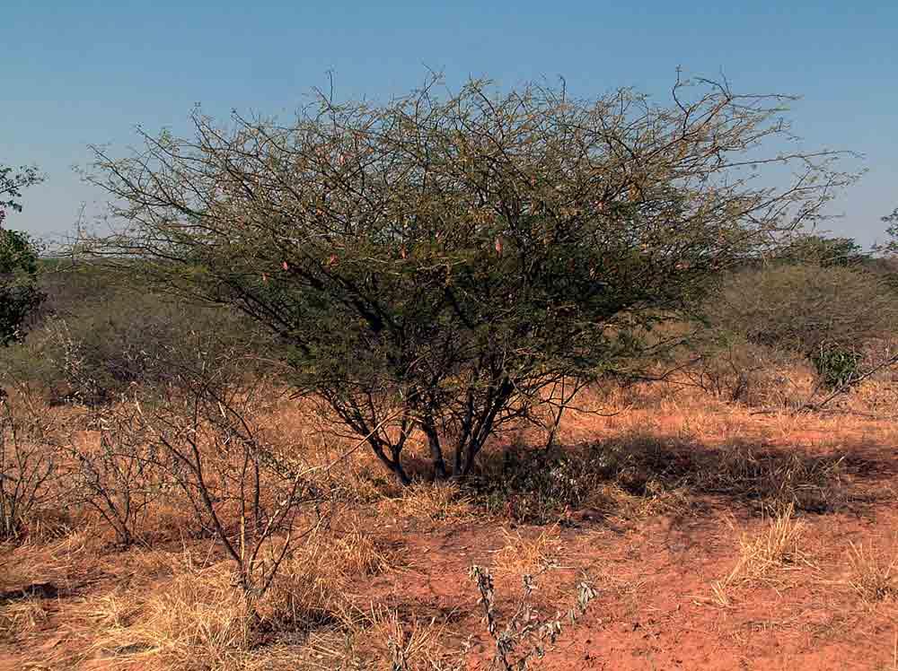 Acacia senegal var. rostrata