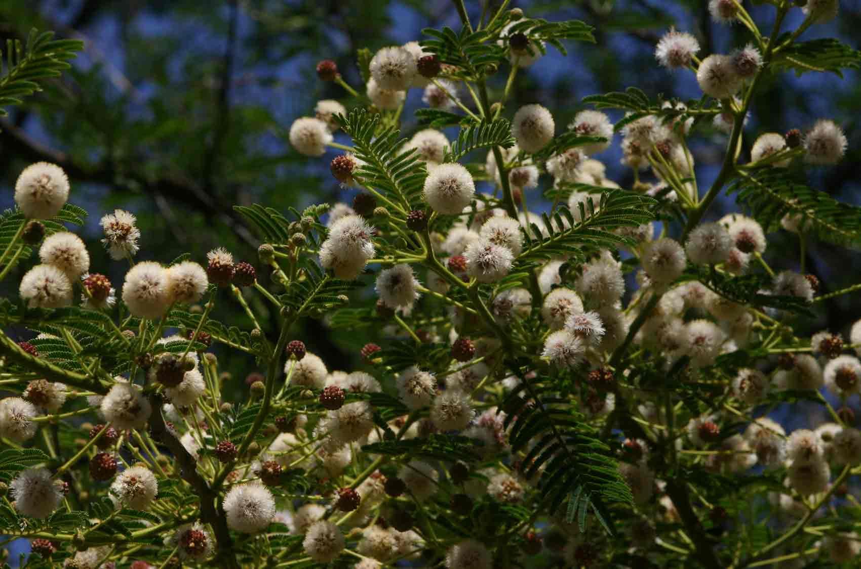 Acacia sieberiana var. woodii