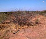 Acacia stuhlmannii