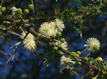 Acacia tortilis subsp. heteracantha