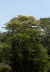 Acacia welwitschii subsp. delagoensis