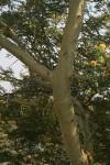 Acacia xanthophloea