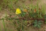 Neptunia oleracea