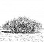 Dichrostachys cinerea