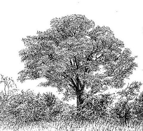 Amblygonocarpus andongensis