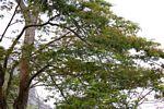 Newtonia buchananii