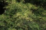 Newtonia hildebrandtii var. pubescens