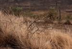 Elephantorrhiza goetzei subsp. goetzei
