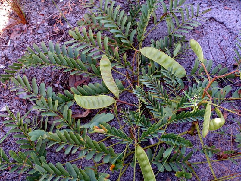 Entada arenaria subsp. arenaria
