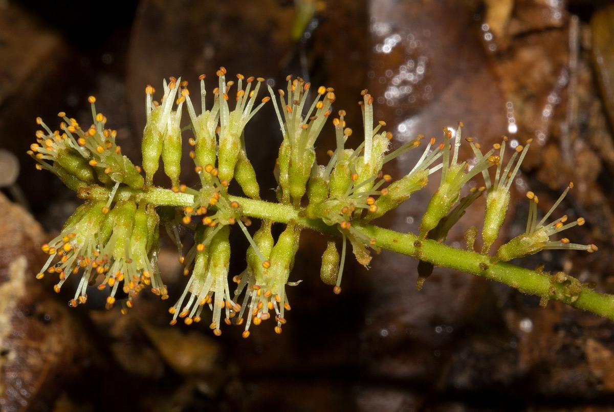 Erythrophleum suaveolens