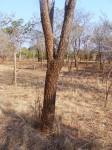 Burkea africana