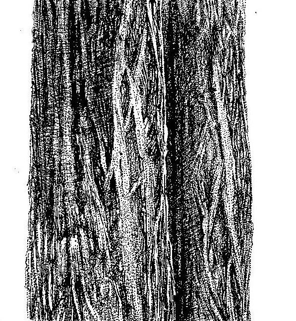 Colophospermum mopane