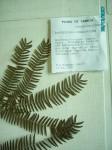 Brachystegia tamarindoides subsp. microphylla
