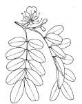Afzelia quanzensis