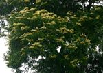 Julbernardia globiflora