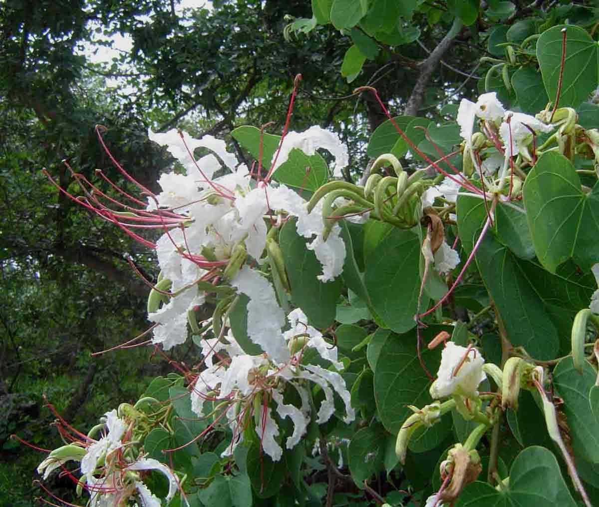 Bauhinia petersiana