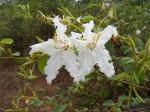 Bauhinia macrantha