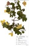 Bauhinia tomentosa