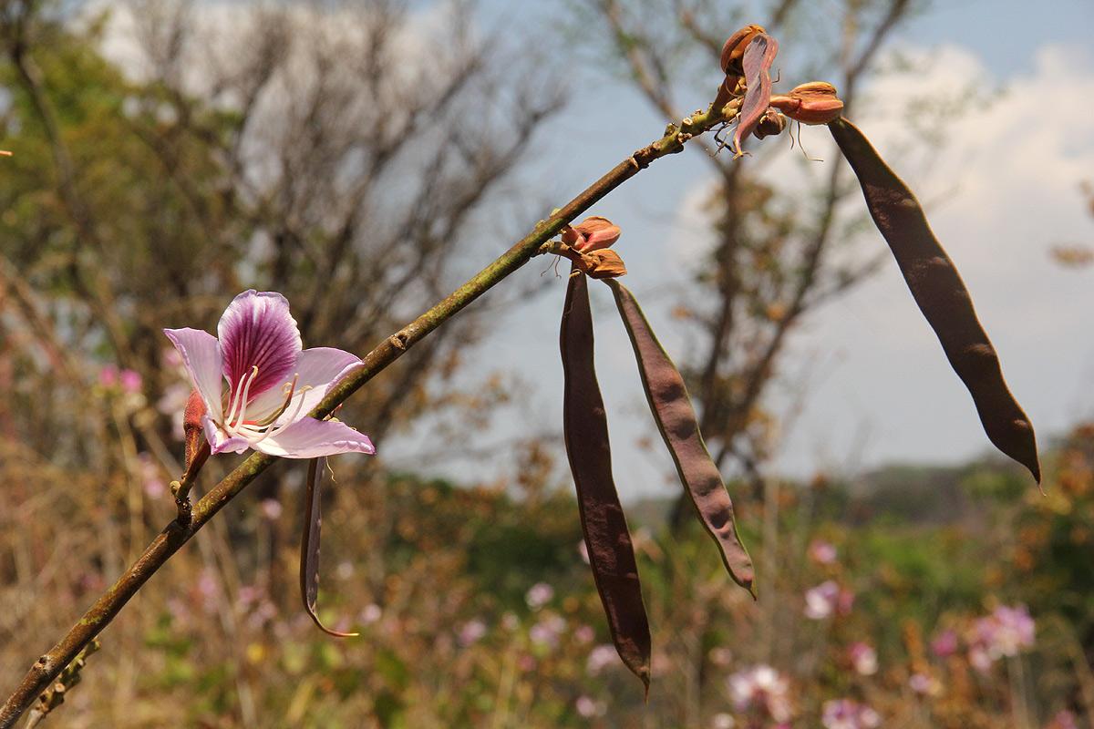 Bauhinia variegata var. variegata
