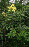 Cassia afrofistula var. patentipila
