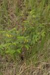 Chamaecrista falcinella var. parviflora