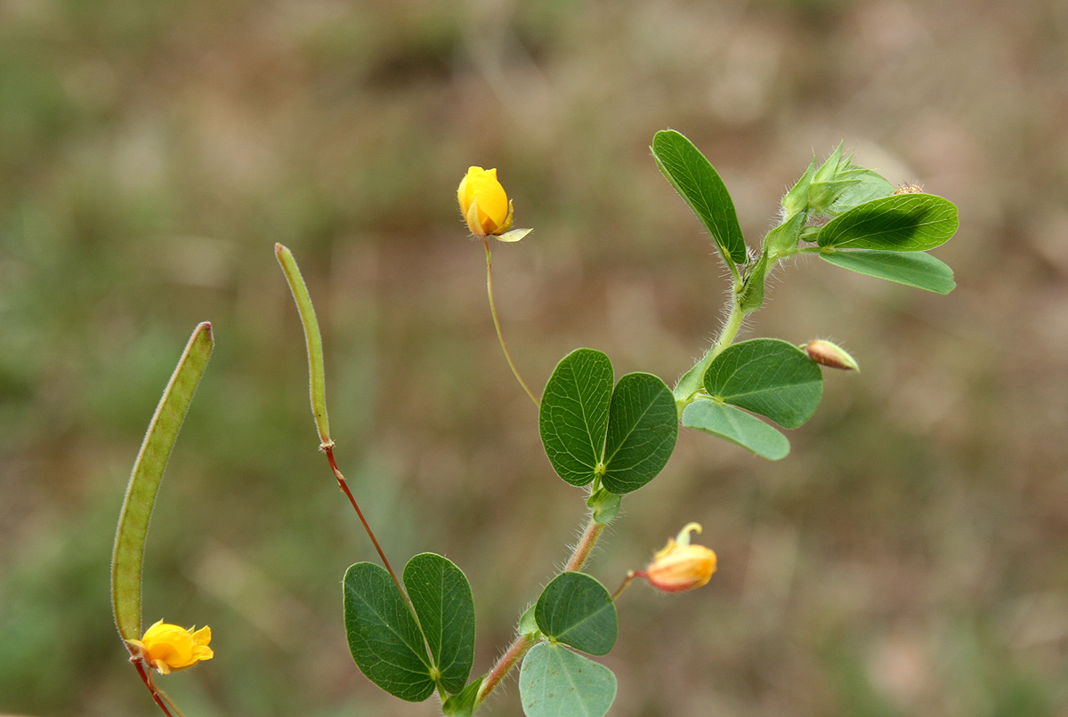Chamaecrista rotundifolia