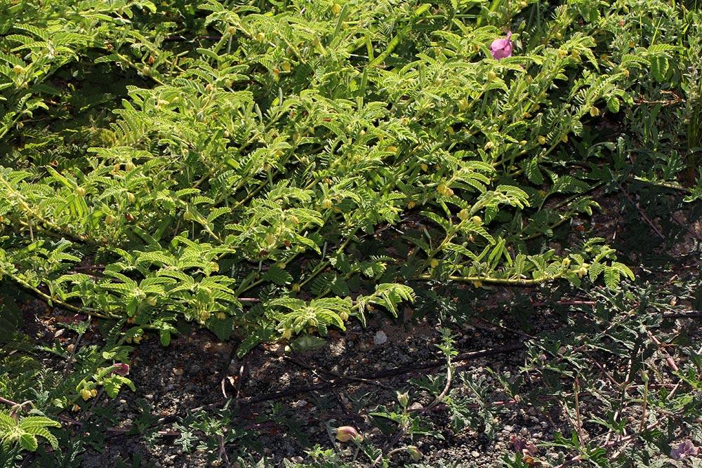Chamaecrista zambesica