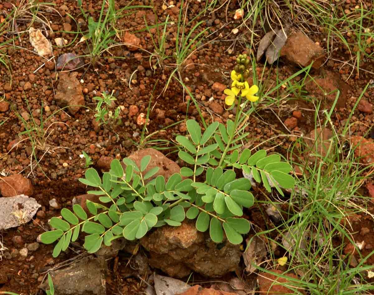 Senna italica subsp. arachoides