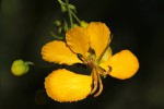 Senna petersiana