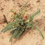 Pomaria burchellii subsp. burchellii