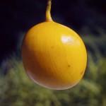Cordyla africana
