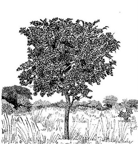 Bobgunnia madagascariensis