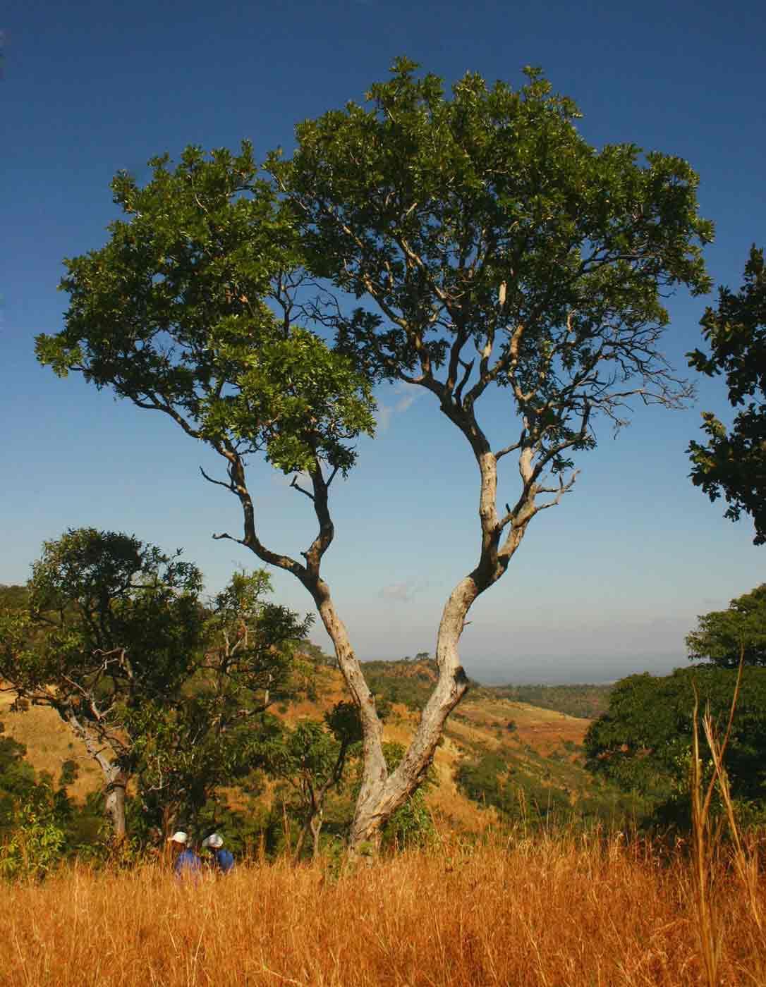 Pericopsis angolensis