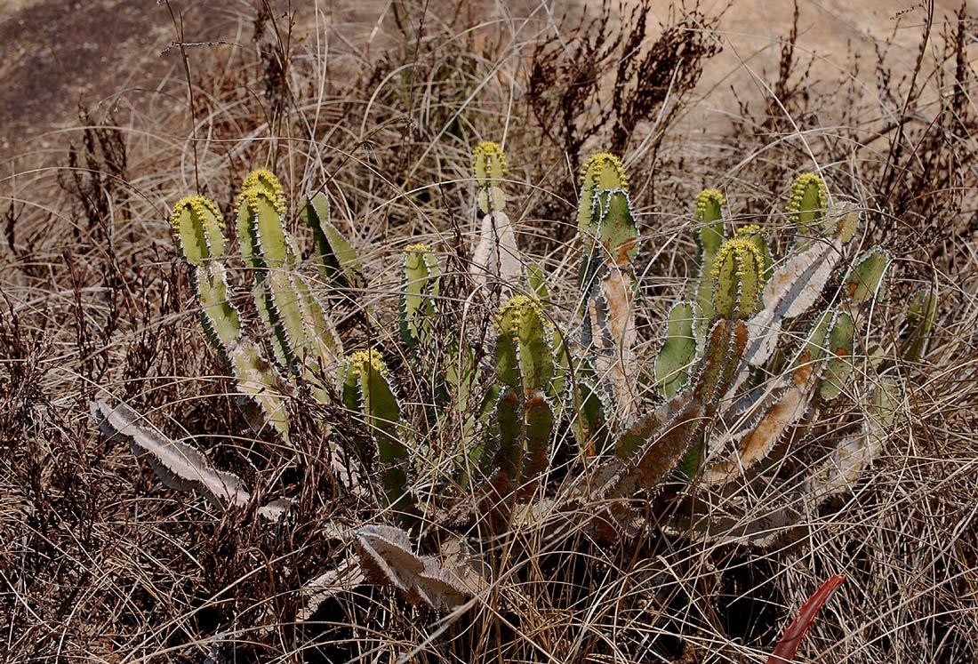 Euphorbia graniticola