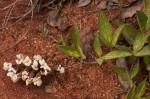 Pearsonia grandifolia subsp. latibracteolata