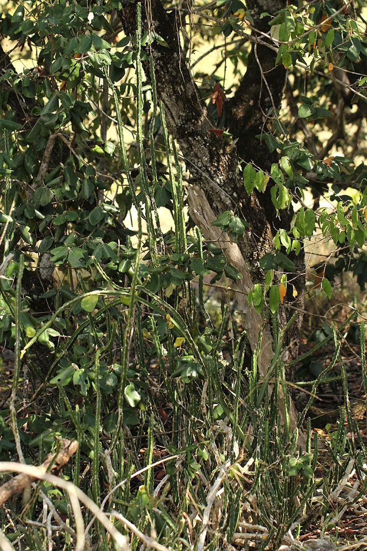 Euphorbia ambroseae var. ambroseae