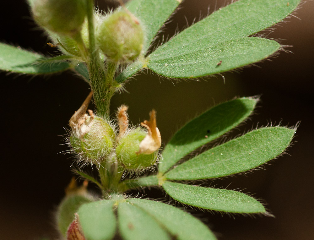Crotalaria alexandri