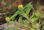 Crotalaria anthyllopsis