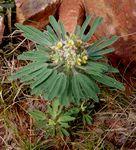 Crotalaria cephalotes