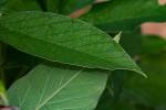 Crotalaria cleomifolia