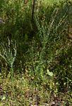 Crotalaria filicaulis var. filicaulis
